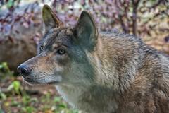 The Stare (Jim Liestman) Tags: minnesota wolf critter ely internationalwolfcenter greatlakeswolf jimliestmanphotographycom
