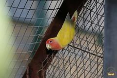 9. Lovebird / Попугаи Неразлучники