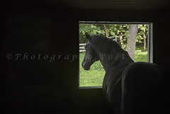 """""""Window Dressed In Black"""" (Photography Poet) Tags: horse black window caballo cheval photo contest ideal pferd dressed equine in hst"""