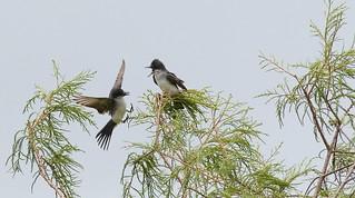Eastern Kingbird (Tyrannus tyrannus) EAKI - Landing in Peace?