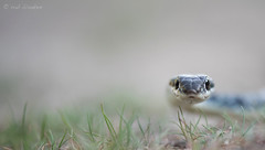Dahl's Whip Snake (Platyceps najadum, slanke toornslang) (Rob Blanken) Tags: bulgaria slangen nikond810 platycepsnajadum dahlswhipsnake sigma180mm128apomacrodghsm slanketoornslang diversendieren