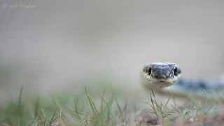 Dahl's Whip Snake (Platyceps najadum, slanke toornslang)