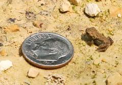 American toad at Cardinal Marsh IA 854A5411 (lreis_naturalist) Tags: county cardinal reis iowa american larry toad marsh winneshiek