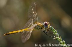 Mecida por el viento (Maria Rosa Vila / Imginem) Tags: animal liblula insecto profundidaddecampo airelibre macrofotografa