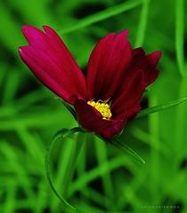 Burgundiae (J Michael Hamon) Tags: red flower macro scarlet garden flora blossom outdoor burgundy petal bloom hamon
