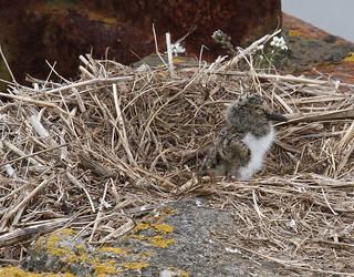 oystercatcher chick in nest
