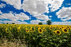 Zeste en ouest (Fabrice Le Coq) Tags: blue sky cloud green yellow fleurs jaune landscape couleurs vert bleu ciel nuages paysage paysages couleur fabricelecoq