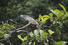 Green Iguana (k8moonevans) Tags: trees costa tree nature america nikon costarica branch wildlife central rica iguana tortuguero centralamerica