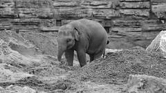 Baby Elephant (newbiephoto92) Tags: baby elephant cute grey zoo babies cheshire chester