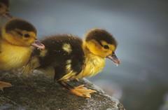 Baby goose (mattgilmartin) Tags: goose chick cute wild