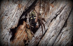 Tharpyna sp. (dustaway) Tags: tullera northernrivers nsw australia nature australianspiders arachnida araneomorphae araneae treebark thomisinae tharpyna crabspider thomisidae tullerapark spinne natur araignee