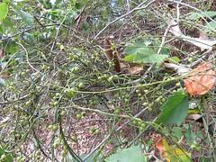 Cassytha filiformis 9 (barryaceae) Tags: bootihill bootibootinationalpark new south wales australia ausvine australianvine australianrainforestplant ausrfps cassythaceae