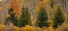 Firs In Aspen (Hank Christensen) Tags: stock trees usa natural landscape grandtetonsnationalpark grandtetons nature nationalpark aspen fallcolors outdoor unitedstates northamerica outside wyoming