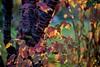 Pretty leaves (rondoudou87) Tags: leaves automne autumnleaves feuillage feuille colors couleurs lumière light pentax k1 nature natur