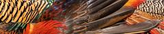 Feathers (Chris Denning Photos) Tags: asiaticpheasantabbeygardens tresco islesofscilly england
