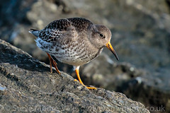 Purple Sandpiper (Steve Moore-Vale) Tags: birds calidrismaritima england florafauna lowestoft nesspoint places purplesandpiper suffolk unitedkingdom wildlife rocks walking