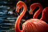 American Flamingo (Simmie | Reagor - Simmulated.com) Tags: 2016 americanflamingo animals connecticutphotography december florida jacksonvillezoo landscape landscapephotography nature naturephotography outdoors phoenicopterusruber photography seascape unitedstates vacation zoo digital jacksonville us animalplanet
