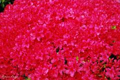 Cerise flowers (DameBoudicca) Tags: tokyo tokio 東京 japan nippon nihon 日本 japón japon giappone flower blossom blomma blüte flor fiore fleur 花 pink rosa rose ピンク cerise kirschrot rougecerise ciliegia arakawa 荒川区 西日暮里 西日暮里駅 nishinippori nishinipporistation azalea azaleen azaleas アザレア ツツジ