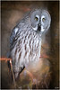 Great Grey Owl (mad_ruth) Tags: skansen sweden stockholm owl grey great textures bird topazimpression