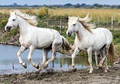 2016 Two Camargue Stallions (32) (maskirovka77) Tags: saintlaurentdaigouze languedocroussillonmidipyrén france languedocroussillonmidipyrénées fr stallion stallions whitehorse whitehorses whitestallion whitestallions createaway photoworkshop