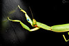 mantis 2 (PhilPhotosity) Tags: bugs bug insect critter mantis prayer macro macrophotography tamron upclose claws australia