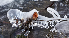 From one day to another ...D'un jour à l'autre ... (Emmanuel Cattier -) Tags: glaçon gel froid hiver rivière river eau water glace winter strasbourg france alsace arbregelé