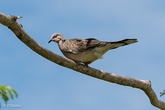 Blinking Spotted Dove (criswa) Tags: nikond800e 70200mmf28 200mm f63 ¹⁄₅₀₀sec iso100