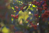 Quando il sole splende ((Raffaella@)) Tags: colori colours bokeh giorno day luce light dicembre december bosco wood siepe inverno winter bacche berries hedge