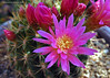 Eriosyce subgibbosa 'multicolor' (l.e.violett) Tags: cactus flowers cultivated eriosyce subgibbosa multicolor arizona pse macro