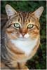 Tyga the Tabby (tina777) Tags: tyga tabby cat feline domestic shorthair green eyes tufted ears beautiful portrait gaze eye contact ononesoftware
