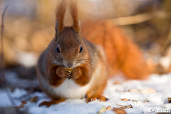 red squirrel, Eichhörnchen, Sciurus vulgaris @ Clara Zetkin Park, Leipzig, 2017 (Jan Rillich) Tags: jan rillich janrillich picture photo photography foto fotografie eos digital wildlife animal nature beautiful beauty sunny sun fauna flora free animalphotography leipzig winter snow cold zwenkau 2016 germany canon canon5d 5dmarkiii clarazetkinpark 2017 canon100400mm redsquirrel eichhörnchen sciurusvulgaris red sciurus vulgaris squirrel