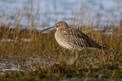 Curlew 71178 (wildlifetog) Tags: canon curlew southeast sthelens duver isleofwight uk blackmore britishisles britain bird birds mbiow martin wild wildlifeeurope wildlife water wader waders nature england european eos7dmkii
