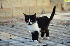 Street kitty (elka.) Tags: chat cat nikon katze kotek neko kot katt kitty cats corinth greece gata kitten gatta gato gatto katte кот кошка γάτα γάτεσ кошки feline котка