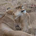 Sleeping lionesses
