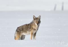 winter coyote (laura's Point of View) Tags: coyote wildlife mammal winter snow cold white wyoming jacksonhole grandtetonnationalpark gtnp nationalpark west western wander wanderlust january sony a7r mirrorless unitedstates northamerican