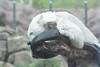 Eisbär Akiak im Ouwehands Dierenpark (Ulli J.) Tags: zoo niederlande nederland netherlands paysbas nederlandene utrecht rhenen ouwehandsdierenpark eisbär polarbear ourspolaire isbjørn ijsbeer