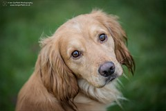 Fortiscorde Tom (Explored 6th January 2017) (Ian Garfield - thanks for over 1 Million views!!!!) Tags: cocker working spaniel dog dogs portrait canon 5d3 ian garfield photography tom fortiscorde gun gundog gundogs kidderminster puppy