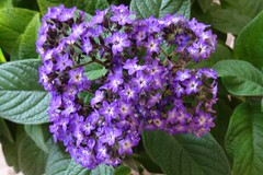 Memories of summer :-)) (Gartenzauber) Tags: blau sony garten natur floralfantasy saariysqualitypictures