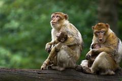 two monkey babies - Barbary Macaques - Berberaffen (okrakaro) Tags: two monkey babies baby barbarymacaques berberaffen affenbaby family familie nature animals zoo natur rheine september 2013 germany bokeh portrait