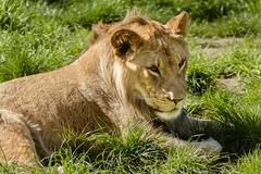 Lion (f1crazed) Tags: woodland park zooseattlewashington lion seattle washington unitedstates us f1crazed flickrbigcats sigma150500mmf563dgoshsm