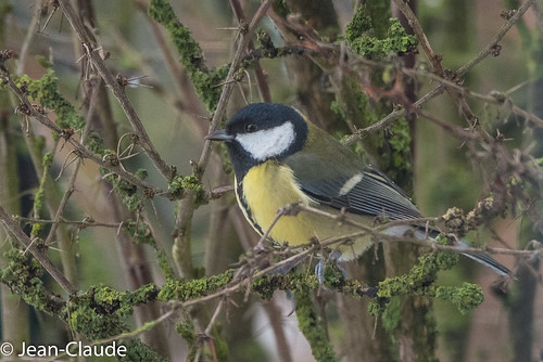Parus Major - Great Tit
