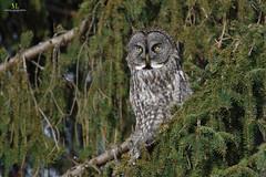 Chouette lapone - Great grey owl - Strix nebulosa (Maxime Legare-Vezina) Tags: bird oiseau nature wild wildlife animal canon winter quebec canada