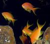 Anthias (Lerotic) Tags: uw underwater egypt redsea scuba diving