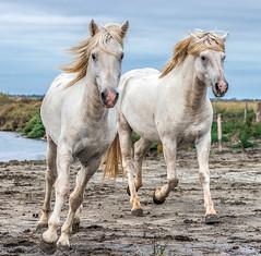 2016 Two Camargue Stallions (16) (maskirovka77) Tags: saintlaurentdaigouze languedocroussillonmidipyrén france languedocroussillonmidipyrénées fr stallion stallions whitehorse whitehorses whitestallion whitestallions createaway photoworkshop