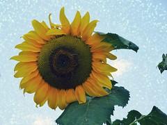 SUNflower. (France-♥) Tags: 433 tournesol sunflower texture fleur macro plant flower