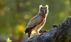 Dusky Eagle Owl (Zahoor-Salmi) Tags: zahoorsalmi salmi wildlife pakistan wwf nature natural canon birds watch animals bbc flickr google discovery chanals tv lens camera 7d mark 2 beutty photo macro action walpapers bhalwal punjab