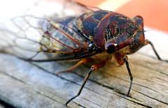 res79 (nigeldunn73) Tags: cicada macro insect lumix fz1000