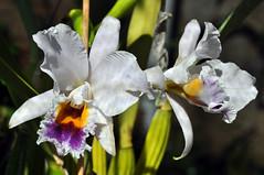 Cattleya percivaliana fma. coerulea (Cassano, A.) Tags: flower nature venezuela flor cattleya coerulea percivaliana