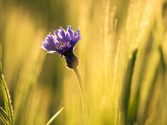 The Eye-Catcher In The Rye (parkerbernd) Tags: blue light sunset flower water field germany lumix fantastic corn bokeh drop rye panasonic explore droplet catcher brandenburg eyecatcher gx1