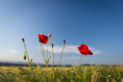 Coquelicot I (trisente) Tags: flowers sunset red summer sky sun green field yellow landscape warm fiesta wheat poppy agriculture minimalism